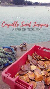 coquille saint-jacques baie de morlaix